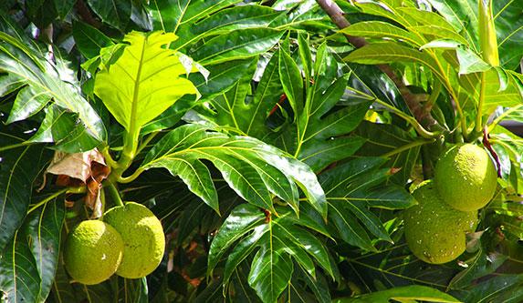 Hakahou - breadfruit-laie10-18.jpg